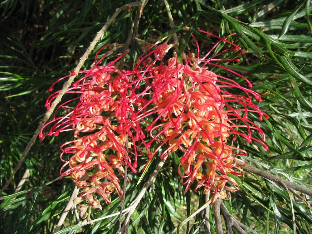 Grevilleas - Flower Essences & Remedies - Flowers for Healing