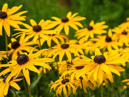 Black eyed susan flower - Flower Essences & Remedies - Flowers for Healing