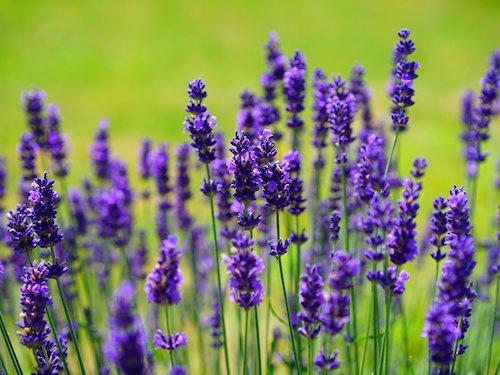 Lavender - Workshops - Flowers for Healing