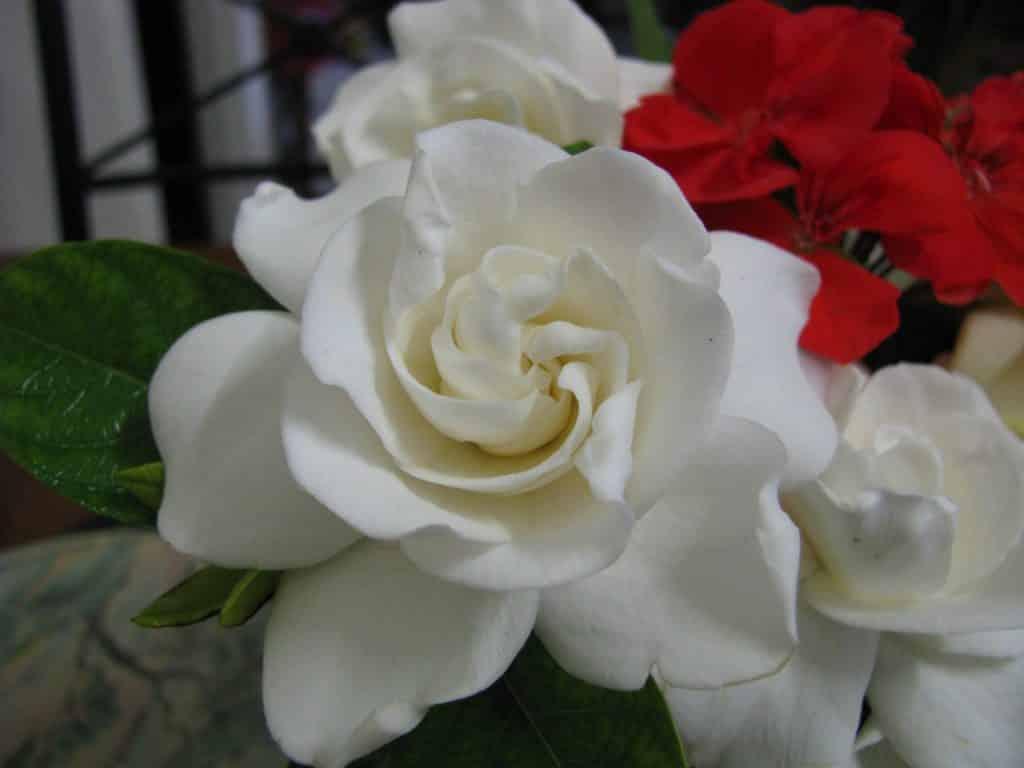 Gardenia Flowers For Healing